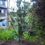 20150920月桂樹