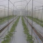20160407トマト定植