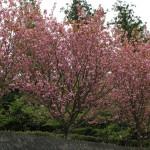 20160418八重桜
