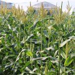 20160620トウモロコシ畑3