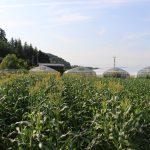 20160620トウモロコシ畑2